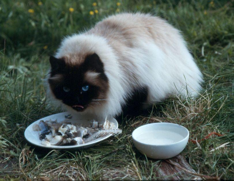 Katt, perser, fisk, pels