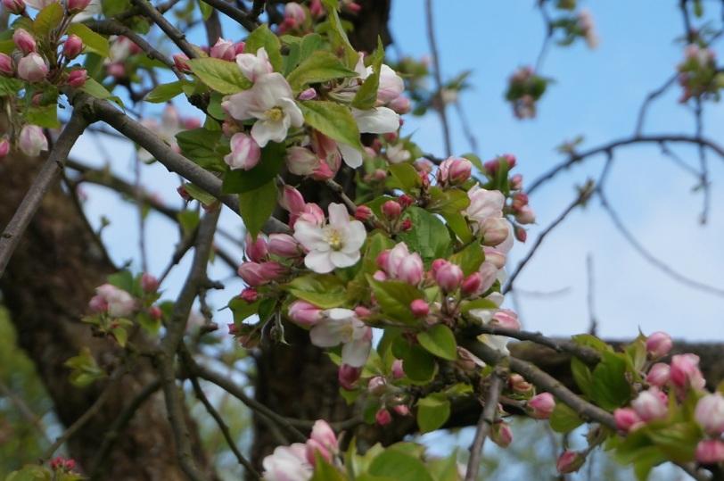 Calvados Blomstrende epletre