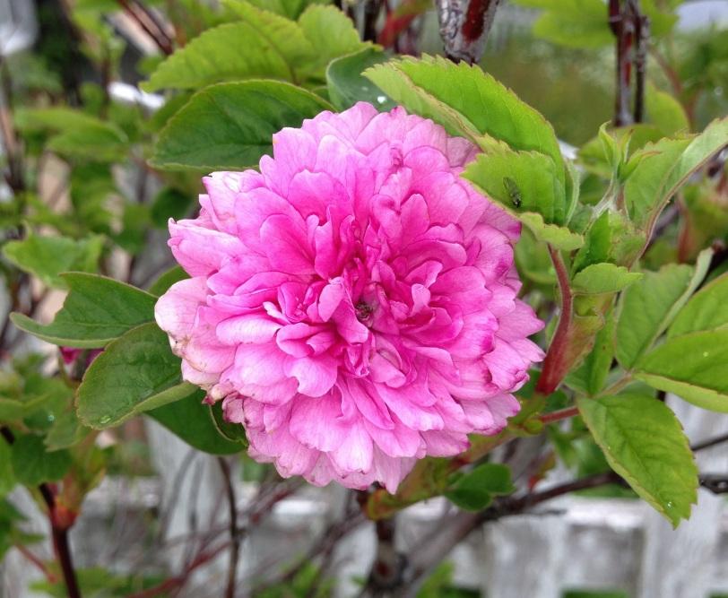En rose dukket plutselig opp